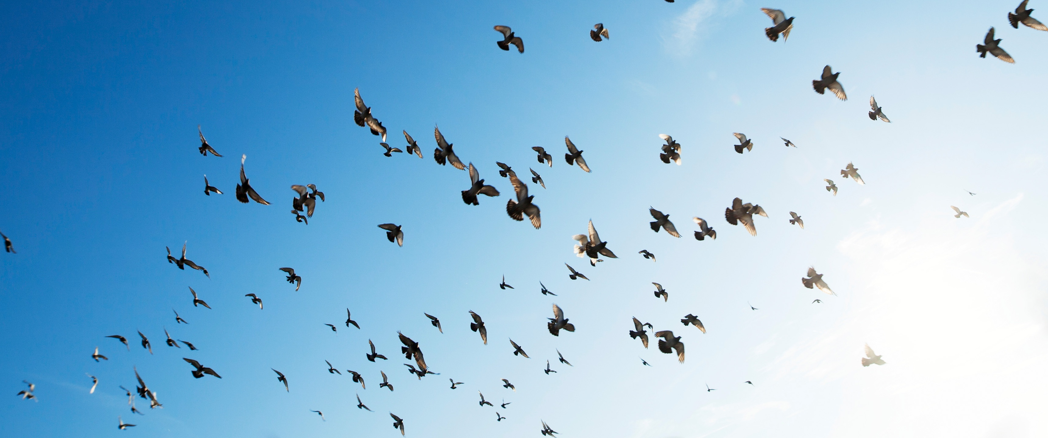 Flock Of Birds 219 Wallpaper Ultrawide Monitor 219 Wallpapers
