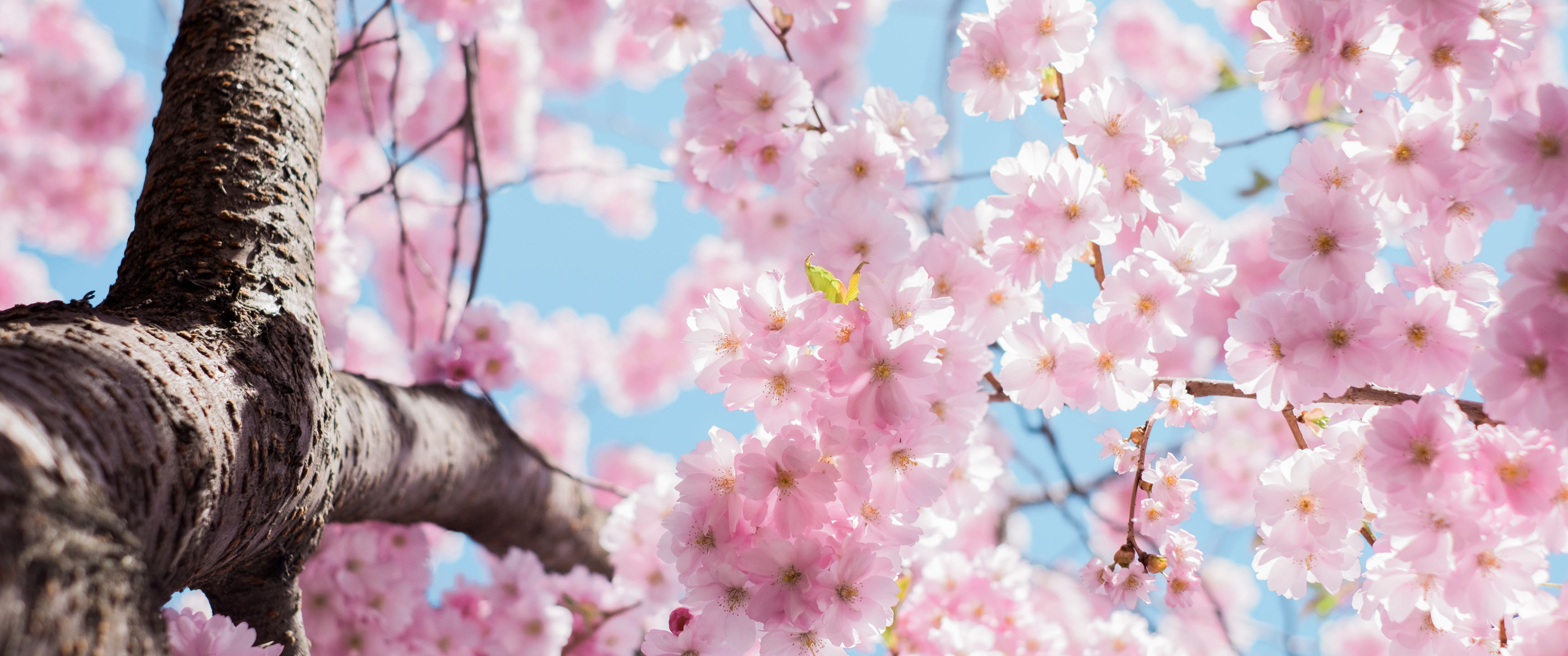 Cherry Blossom Season 21:9 Wallpaper   Ultrawide Monitor ...